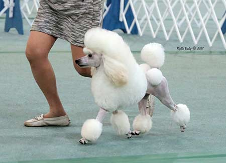 Light N Lively Miniature Poodles More Champions