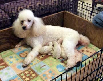 Light N Lively Miniature Poodles Puppies