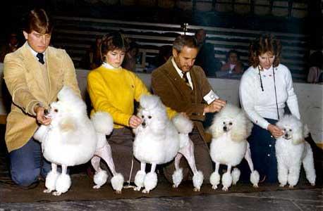 Light N Lively Poodles Miniature Breeder New York