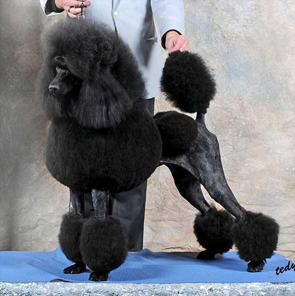 Delphinium Standard Poodles Standard Poodle Breeder