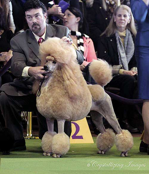 Farleys D Standard, Standard Poodle breeder, Pittsburgh, Pennsylvania