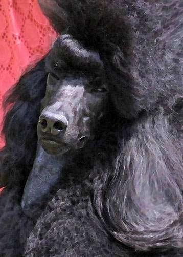Rosebud Standard Poodles, Standard Poodle breeder, Coalport