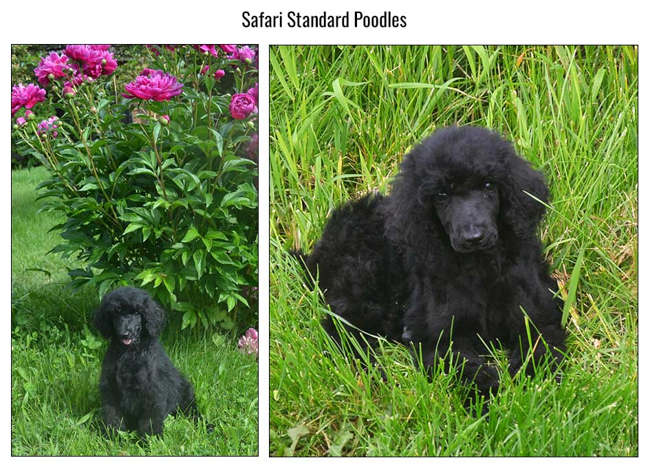 Poodle Breeders - Standard, Miniature and Toy Poodle puppies