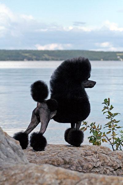 Pomroth Toy Poodles Toy Poodle Breeder Kelowna British
