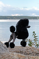 Pomroth Toy Poodles